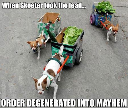 dog cart chihuahua mayhem chaos image macro