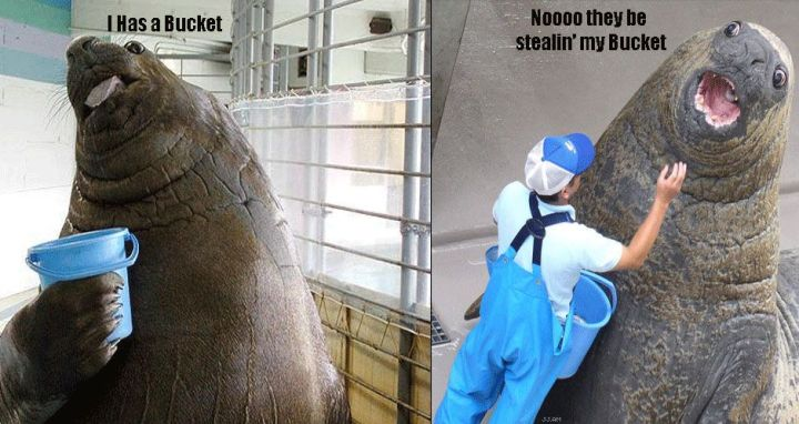 i has a bucket lolrus elephant seal image macro