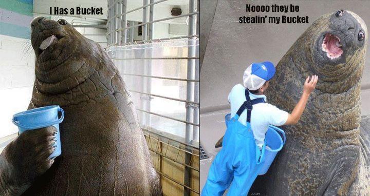 i has a bucket lolrus elephant seal image macro