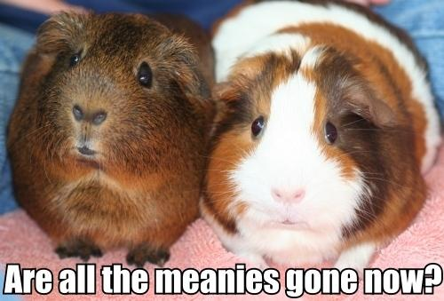 mean poopyhead guinea pig scared afraid unhappy image macro