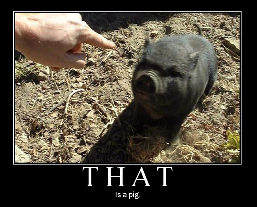 that is a pig piglet vietnamese pot bellied black hand point finger image macro