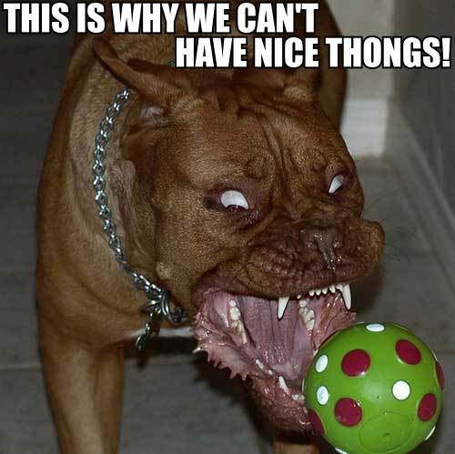 nice things thongs meme pit bull dog with a ball angry image macro